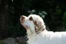 Dukeries' Clumber Spaniel Sparkle